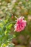 Poppy Flower cor-de-rosa no jardim fotos de stock royalty free