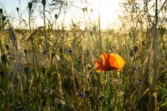 Poppy flower at a cornfield - backlight during evening hours stock photos