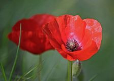 Poppy flower in a countryside field royalty free stock images