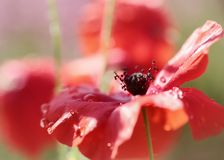 Poppy. Flower covered with rain drop , macro, soft focus royalty free stock photo