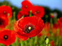 Poppy flower-cup Royalty Free Stock Photography