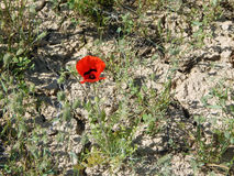 Poppy flower in the desert. Royalty Free Stock Photo