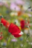 Poppy flower in detail stock photography
