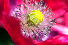 Poppy flower detail Stock Photo