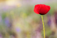 Poppy flower. Detail with copy space for Nature Background royalty free stock photos