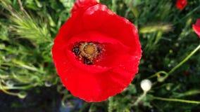 Poppy. Flower in detail in a meadow Stock Photos