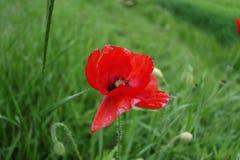 Poppy flower detail. Red poppy flower blooming in green field stock photography