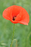 Poppy flower details Stock Photography
