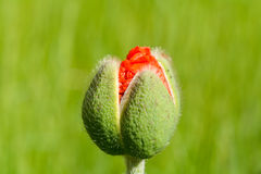 Poppy flower emerging from bud Royalty Free Stock Image