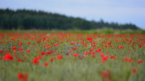Poppy flower on farmland during sunrise in Sweden stock video footage