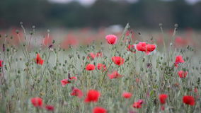 Poppy flower on farmland during sunrise in Sweden stock footage