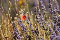 A poppy flower in a feelds of blooming lavander Vaucluse, Proven Stock Photography