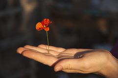 Poppy flower in female hand. Stretched hand holding flower of poppy against a dark background royalty free stock photos