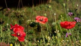 Poppy Flower Field stock footage