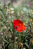 Poppy flower in the field stock photography