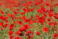 Poppy flower field. Red Poppy flower field detail stock photo
