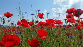 Poppy Flower Field Photos libres de droits