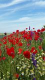 Poppy Flower Field Photographie stock libre de droits