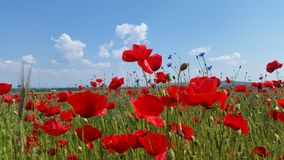 Poppy Flower Field Images libres de droits