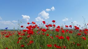 Poppy Flower Field Photographie stock