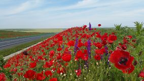 Poppy Flower Field Images stock