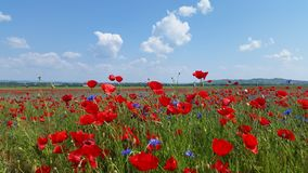 Poppy Flower Field Photo libre de droits