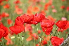 Poppy flower field. Poppy field in Apulia region of Italy. Rural landscape stock image