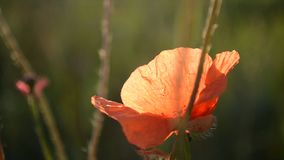 Poppy flower in a field at dawn