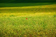 Poppy flower in a field Stock Photos