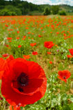 Poppy and Field Stock Photography