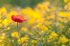 Poppy flower in a field of rape seed Stock Images