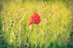 Poppy flower on a field Royalty Free Stock Photo