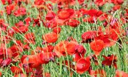 Poppy flower field Royalty Free Stock Photos