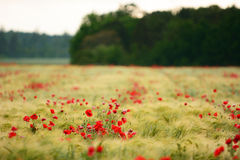 Poppy flowers taking over farmland in Sweden during summer Stock Images