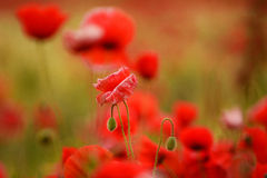 Poppy flower field during summer Royalty Free Stock Photo