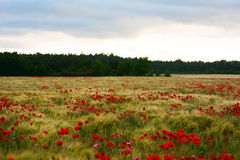 Poppy flowers taking over farmland in Sweden during summer Royalty Free Stock Photo