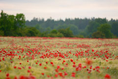 Poppy flowers taking over farmland in Sweden during summer Stock Image