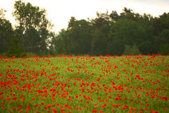 Poppy flower field during summer Royalty Free Stock Images