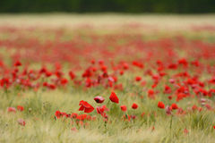 Poppy flower field during summer Royalty Free Stock Photos