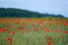 Poppy flower field during summer Stock Photography