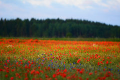 Poppy flower field during summer Royalty Free Stock Image