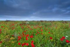 Poppy flower field in summer Stock Photos