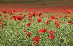 Poppy flower field tring hertfordshire Stock Photos