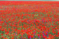 Poppy flower. On the fields in crimea in the morning Stock Photography