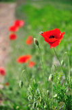 Poppy flower deep of field Royalty Free Stock Image