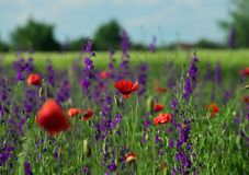 Field plants with red and purple flowers in full bloom stock photo