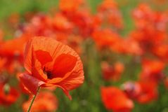 Poppy flower focused. A poppy flower in a red blurred field - colourful poppies Royalty Free Stock Photography