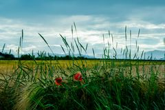 Poppy flower in front of a field and a cloudy sky. And some corn flowers stock images