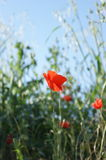 Poppy flower. In a garden with blue sky and vegetation around stock image