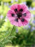 Poppy, Flower, Garden, Pink, Spring Royalty Free Stock Photos